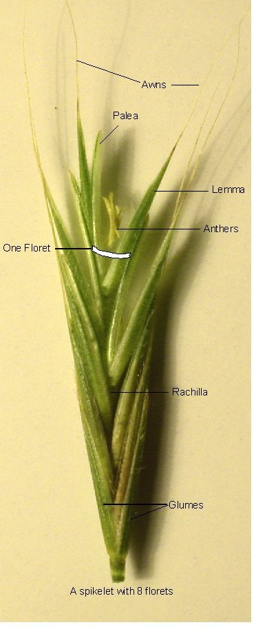 Image Of A Grass Spikelet
