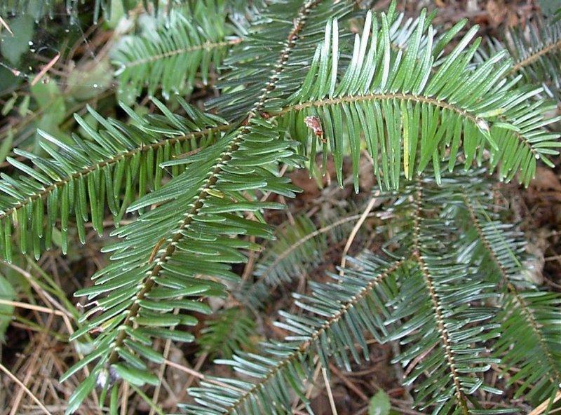 White fir needles