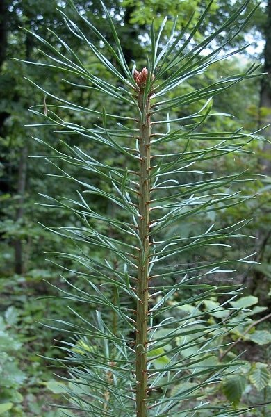 Scots pine Pine tree timber